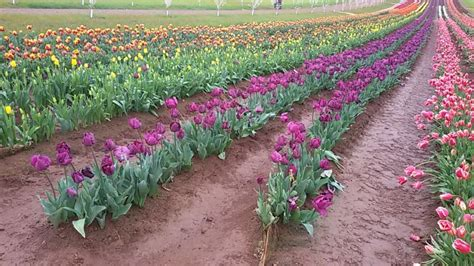 Bukan Sembarang Bunga bunga tulip ternyata bukan berasal dari belanda okezone news