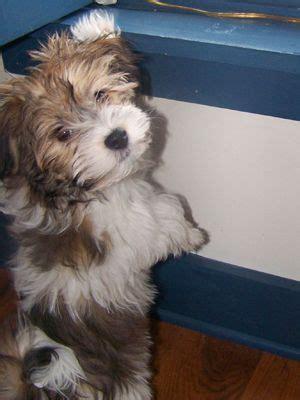 havanese puppy names 12 nestie pooch names we havanese puppies arnaz and names
