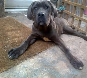 Years ago for sale dogs neapolitan mastiff london