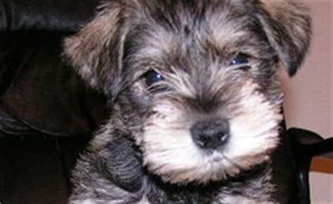 puppies for sale in westchester ny schnauzer puppies westchester breeds picture