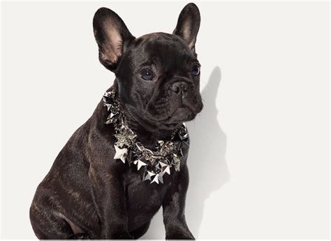 all the cuteness frenchie puppies model for coach love maegan - French Bulldog Giveaway