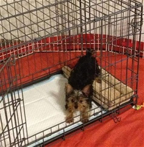 housebreaking a yorkie in 5 days pered paws recipe