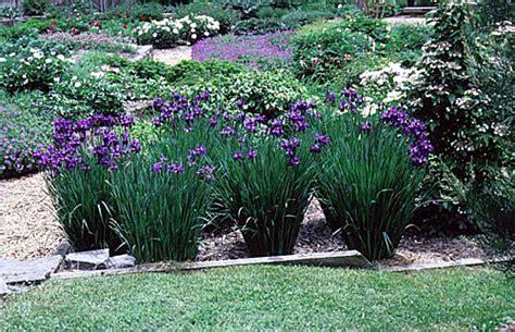 siberian iris varieties www pixshark com images