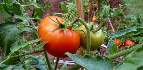 Patio Tomato Plant Care by How To Grow Tomatoes Today S Homeowner