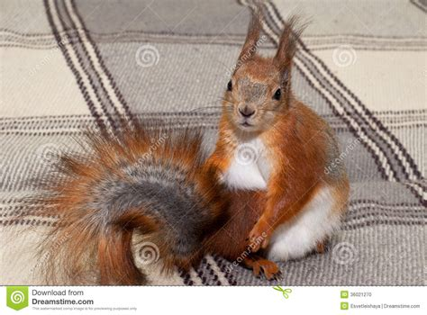 squirrel the house from up squirrel in the house stock photo image of animal 36021270