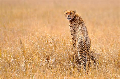 south african cheetah simple english wikipedia the free file gepard serengeti jpg wikimedia commons