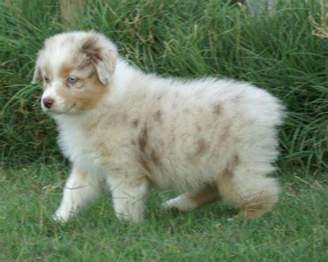 merle aussie puppy australian shepherd puppies pictures photos pics