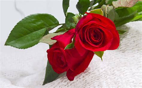 wallpapers red rose wallpapers hd red rose wallpaper free red roses hd wallpapers