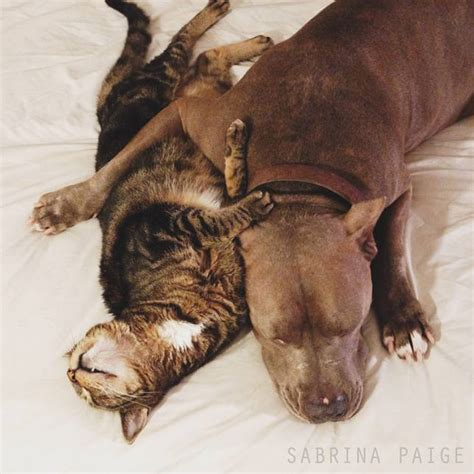 cat and cuddling lessons in cuddling pit bulls and tabby cat show us how it s done mnn