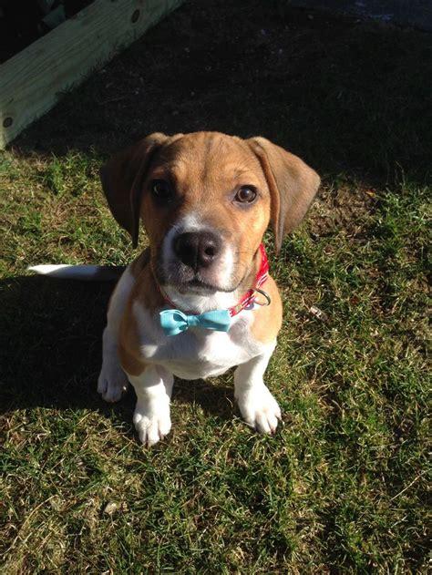 My Frengle Bulldog Beagle Puppy Reeses Reeses
