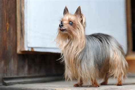 yorkie vs terrier silky terrier vs terrier analyzing the differences