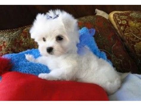 free puppies cleveland ohio sweet maltese puppies for adoption animals cleveland ohio announcement 33402