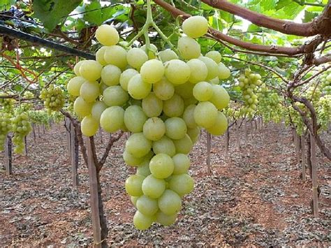 uva da tavola coltivazione l uso dei fitoregolatori nell uva da tavola agronotizie