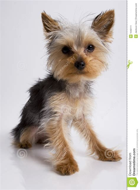 yorkie puppies pictures only yorkie puppy sitting stock image image 1040111