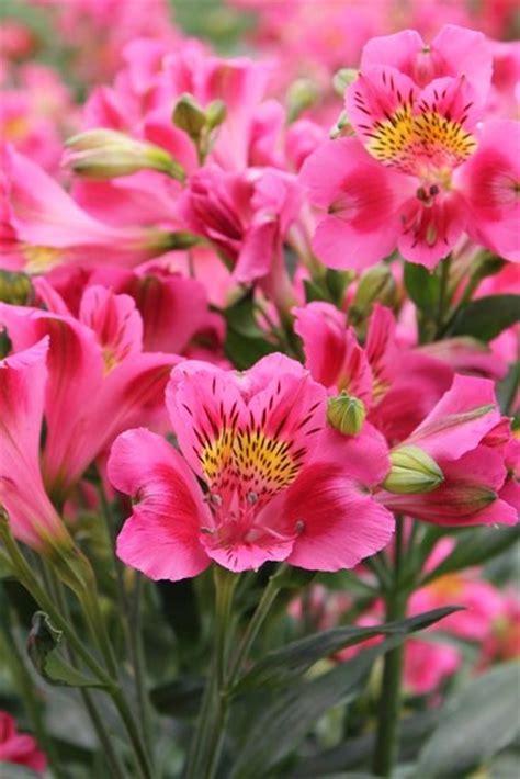 alstroemeria colors 27 best images about alstromeria rosa on