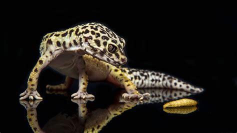 leoparden deko leopard gecko wallpapers wallpaper cave