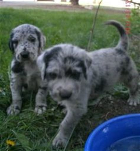 great doodle names some day on great danes poodle and