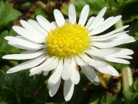 fiore margherita fiore margherita fotografia fiori
