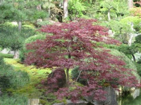 the world 180 s tree species japanese maple acer palmatum