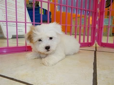 free puppies greensboro nc coton de tulear puppies dogs for sale in carolina nc greensboro