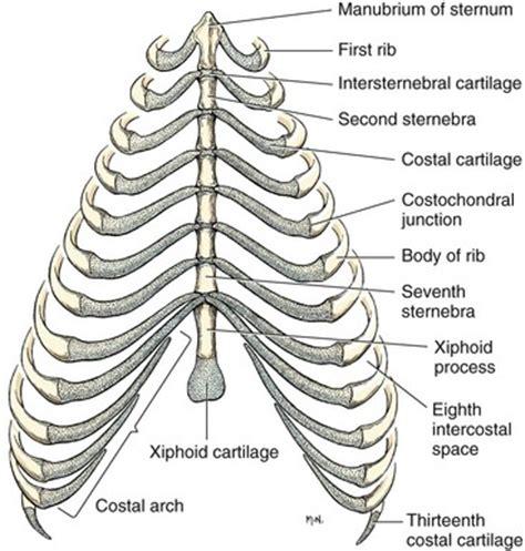 thoracic wall | veterian key