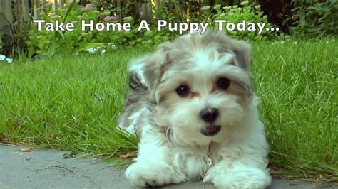 puppies for sale in cities national city puppy puppies for sale san diego puppies