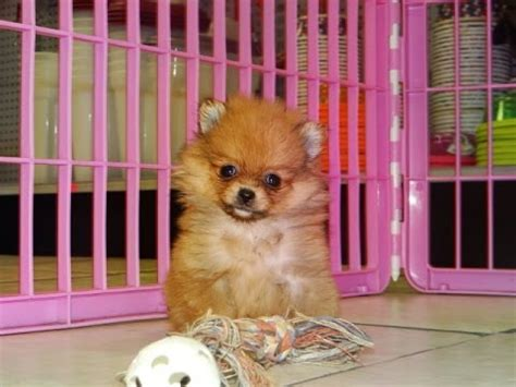 pomeranian puppies dogs  sale  mesa arizona az