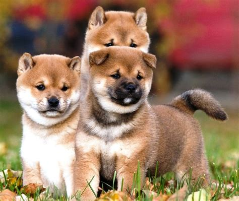shiba inu puppies indiana shiba inu puppies available in tucson az