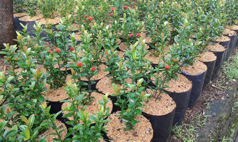 jual pohon soka murah tanaman bunga soka