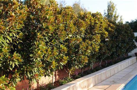 why does my little grem magnolia have dark brown leaves gem magnolia screen search garden magnolia gem garden