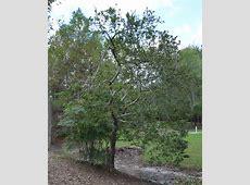 UFEI - SelecTree: A Tree Selection Guide Glossy Privet Tree