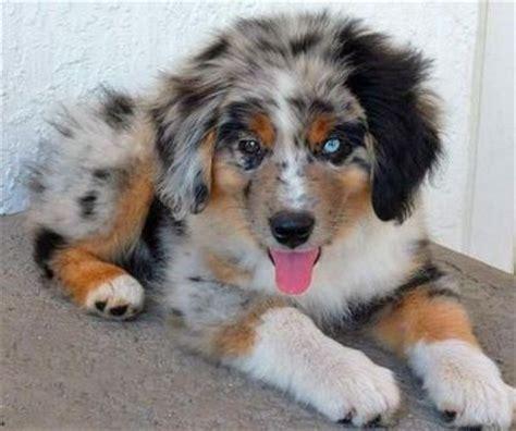 blue merle aussie puppy blue merle australian shepherd puppy puppies galore juxtapost