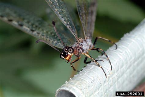 doodlebug insect wiki antlion neuroptera myrmeleontidae 1252001