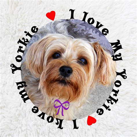 my yorkie i my yorkie free stock photo domain pictures