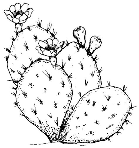 free coloring pages of cactus drawing