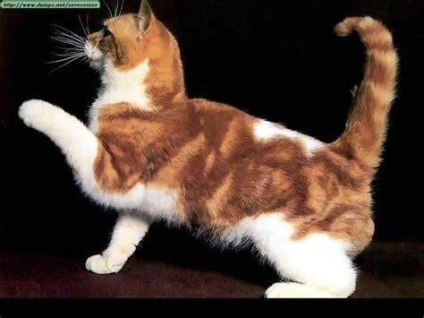 imagenes que se mueven gatos arte el gato de olimpia