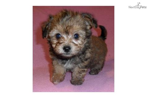 baby yorkie for sale 400 yorkie puppies for free adoption breeds picture