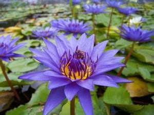purple tropical water lily water garden  pond plant