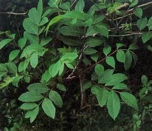 poison sumac plant pictures meanings