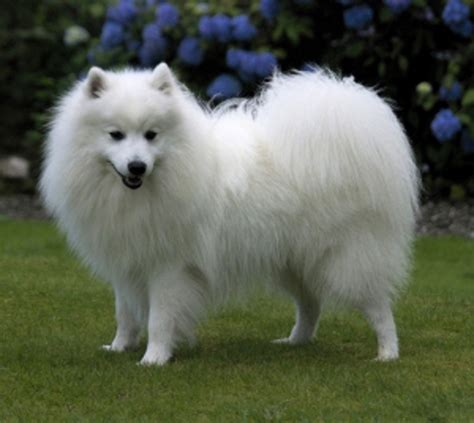 About The Japanese Spitz Small Dog Breeds Hq That Stay And
