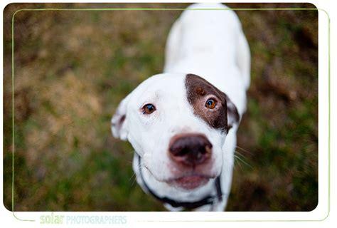 pointer mix puppies pointer beagle pitbull mix