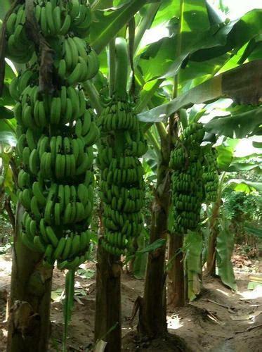 tissue culture  banana plant banana tree kela plant