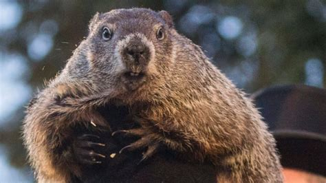groundhog day date groundhog day consensus foresees more winter cbc news