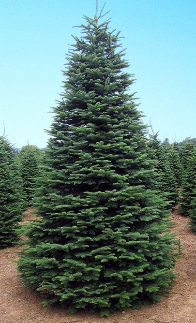 noble christmas mountain best 28 noble fir tree care noble mountain tree farm ksl deals 6 7 noble fir