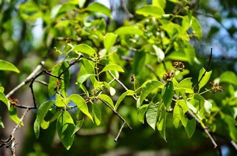 jual bibit pohon cendana  bau bau wwwstewartflowersnet