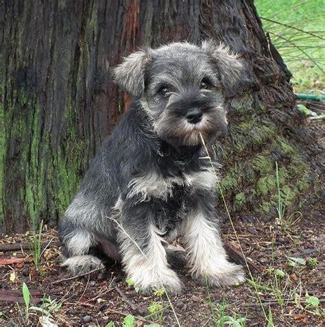 purebred shih tzu puppies for sale nsw for sale purebred schnauzer puppies randwick