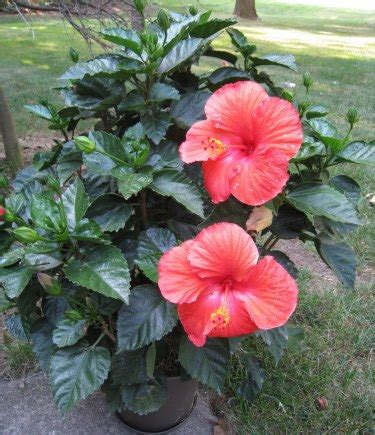 Hibiscus In Planters by Hibiscus Cultivation Information Guide Agrifarming In
