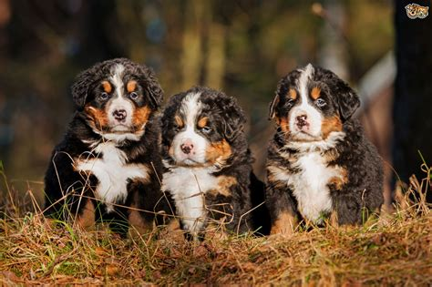 bernese mountain lifespan health issues more commonly seen in the bernese mountain pets4homes