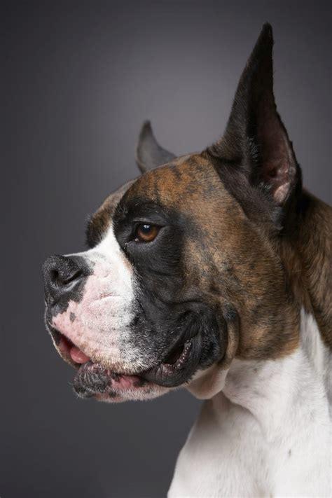 spleen tumor expectancy cancer in boxer dogs cuteness