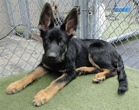 Why Do German Shepherds Shed So Much by 3470 Best Images About German Shepheds On